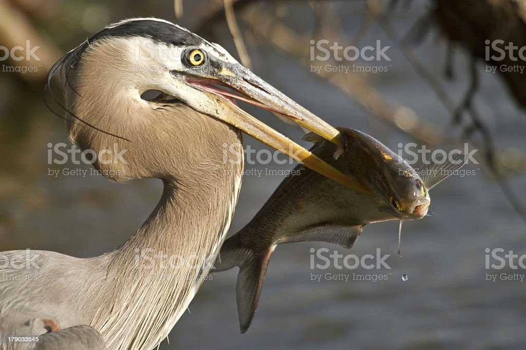 Great Blue Heron With Shad stock photo