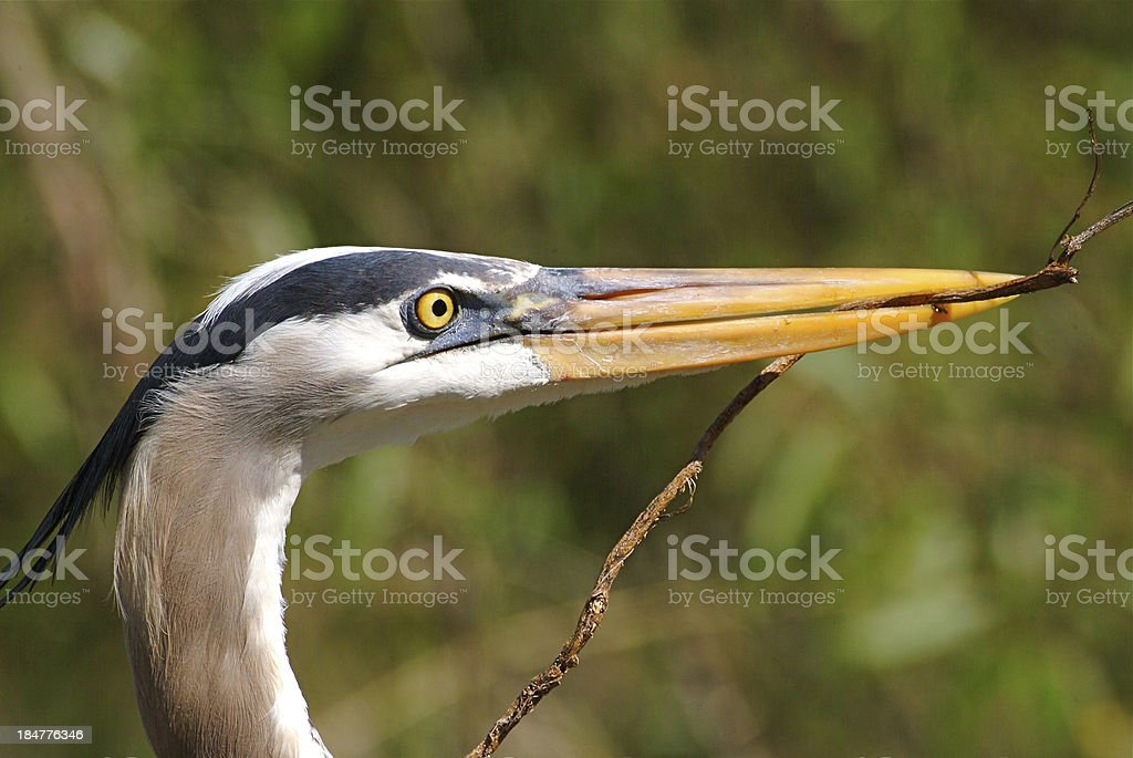 Great blue heron with stick royalty-free stock photo