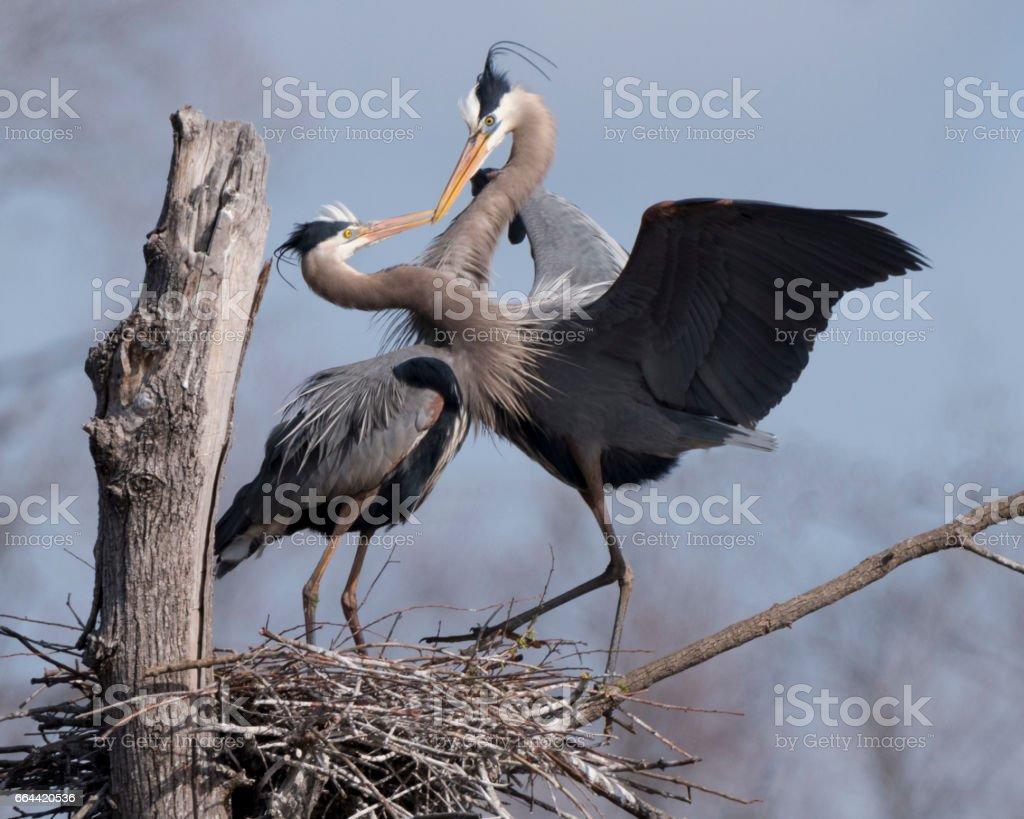 Great Blue Herons exhibiting bonding behavior stock photo