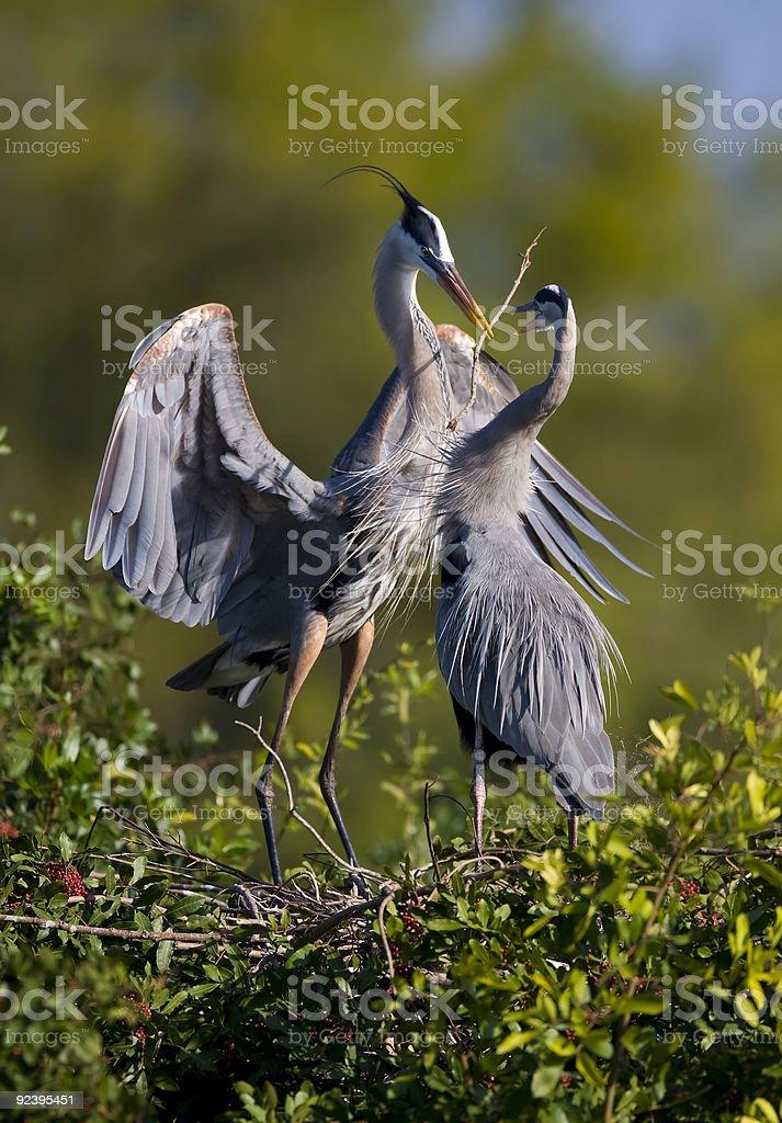 Great Blue Herons mating ritual royalty-free stock photo