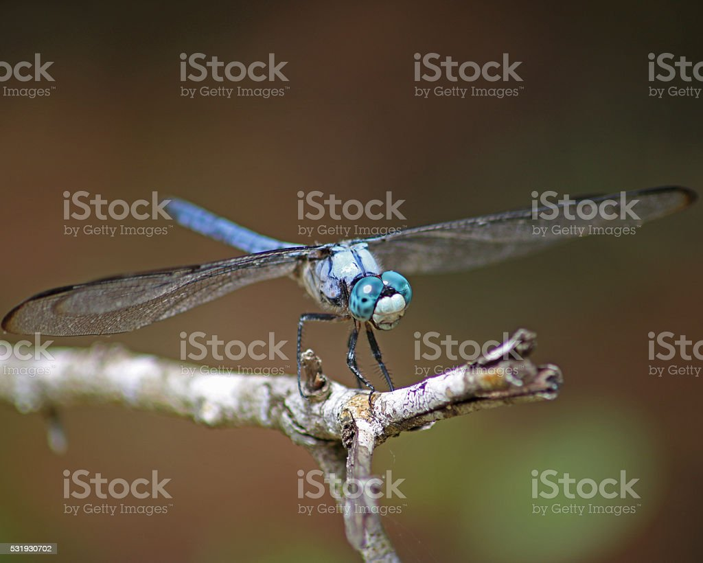 Grand bleu Libellule à quatre taches photo libre de droits