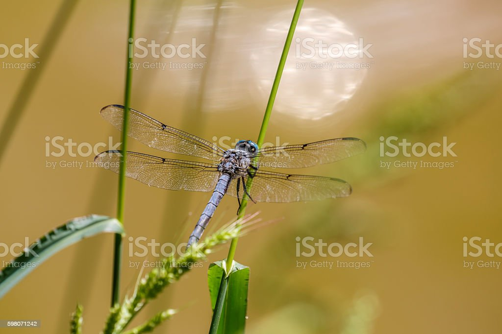 Great Blue Skimmer Dragonfly (Male) stock photo