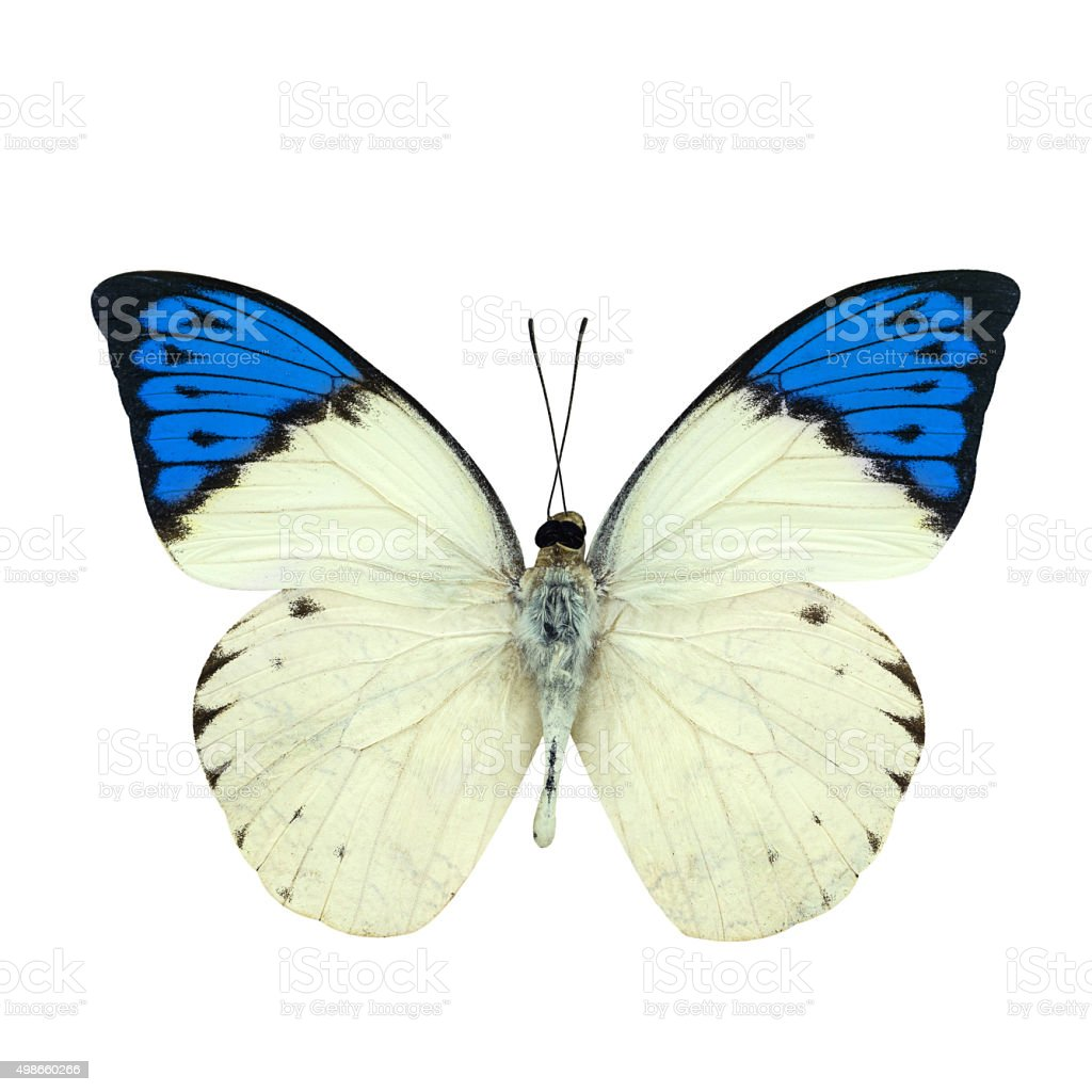 Great blue Tip butterfly isolated on white stock photo