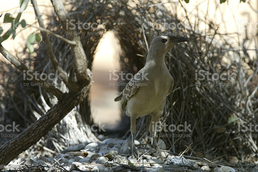 Great bower bird royalty-free stock photo