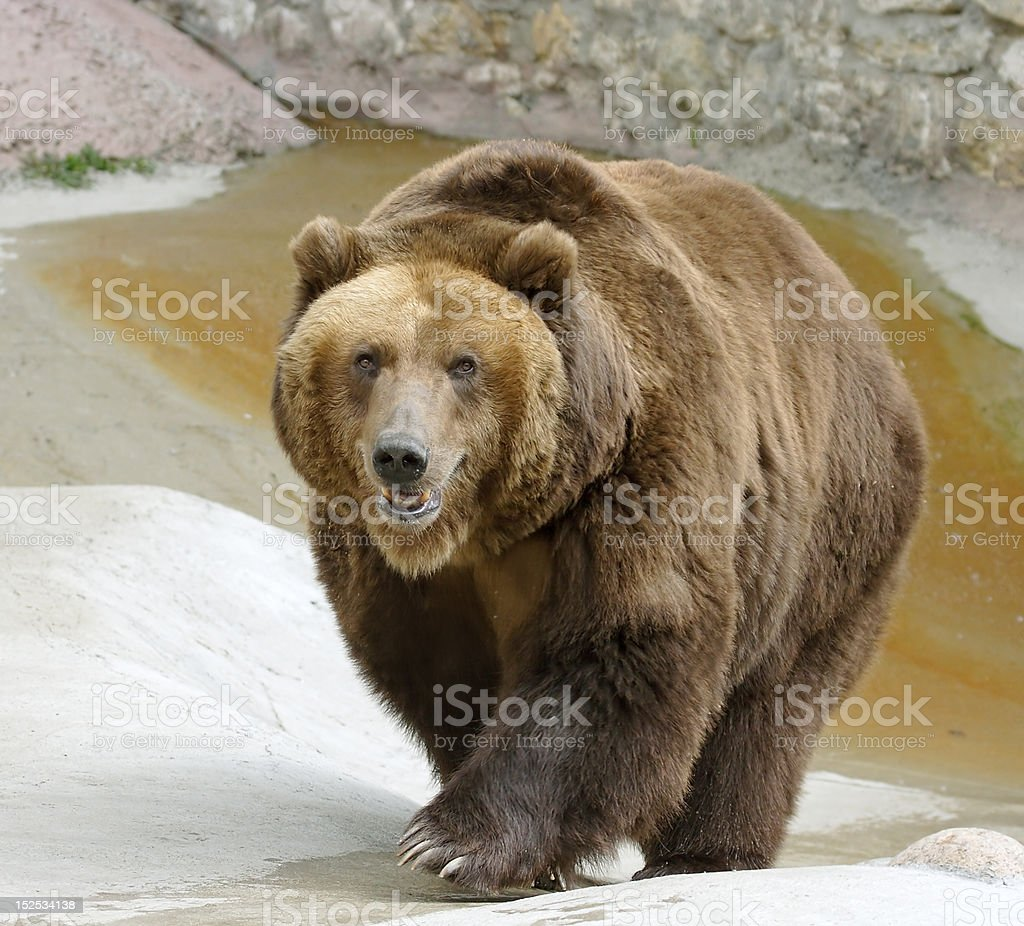 Great brown bear royalty-free stock photo