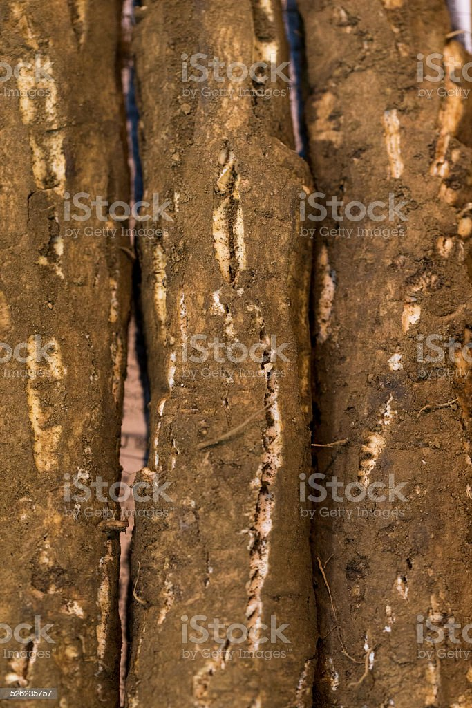 Great Burdock Roots stock photo