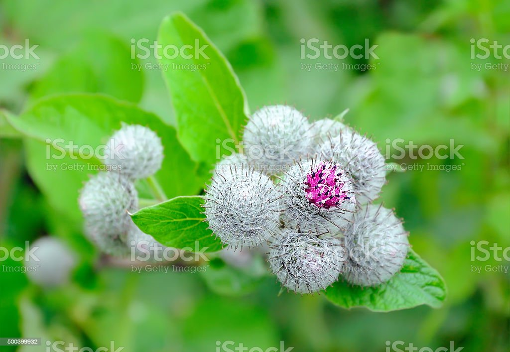 Great Burdock (Arctium lappa), selective focus stock photo