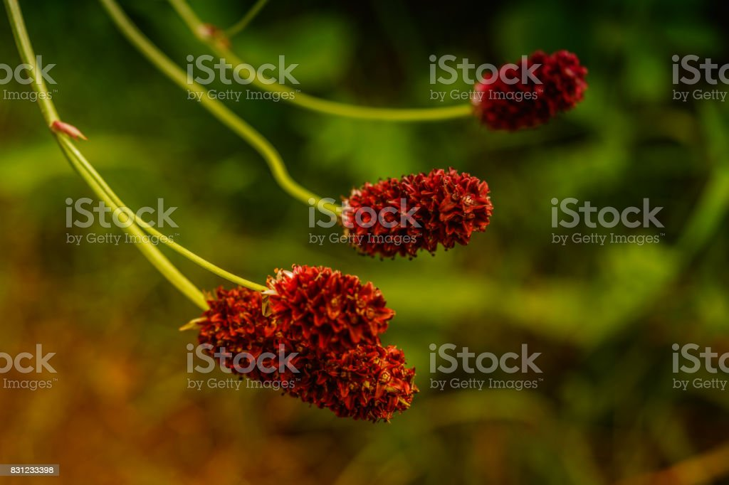 Great burnet Sanguisorba officinalis stock photo