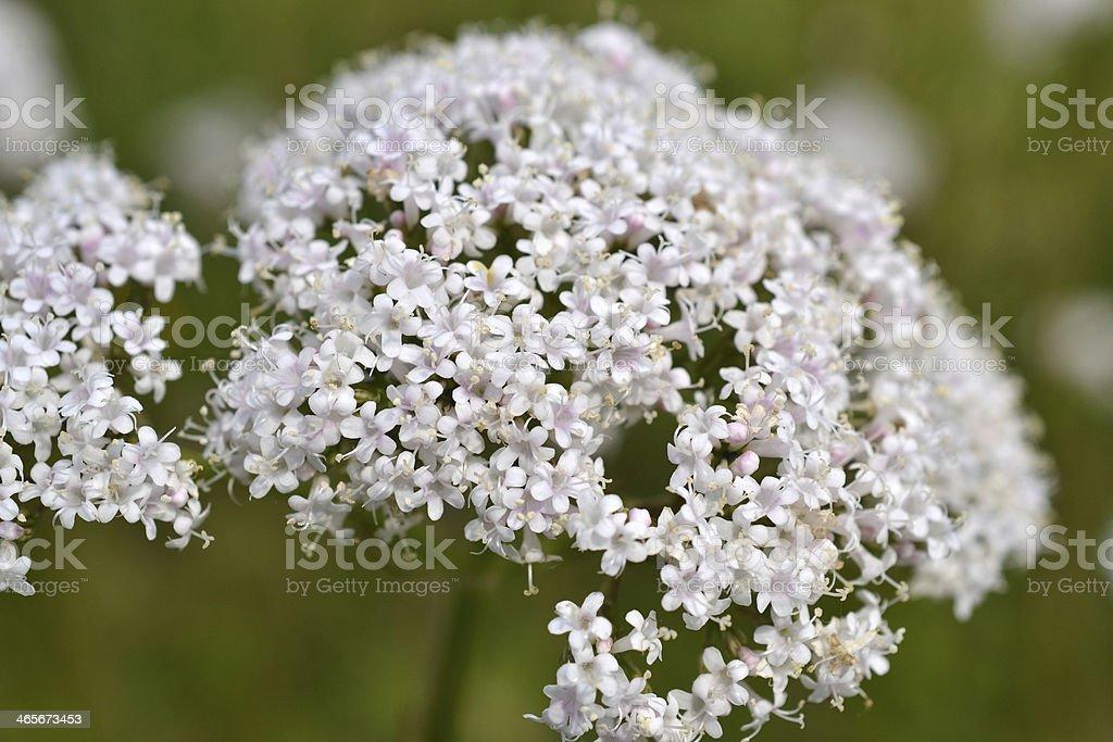 Great Burnet-saxifrage. royalty-free stock photo