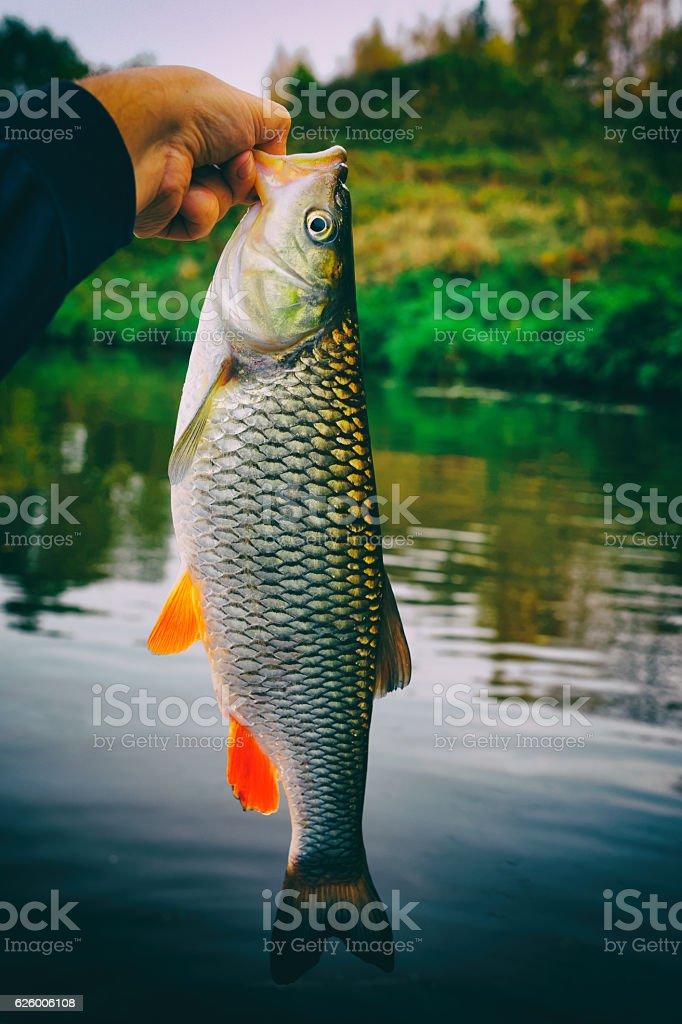 Great chub in fisherman's hand, toned stock photo