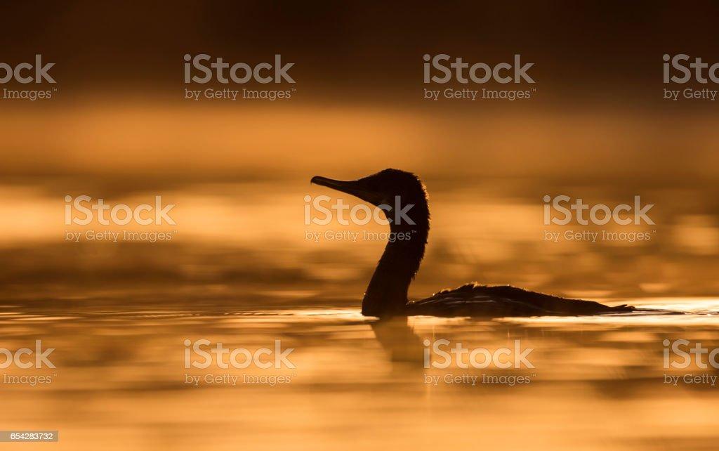 great cormorant at Sunrise stock photo