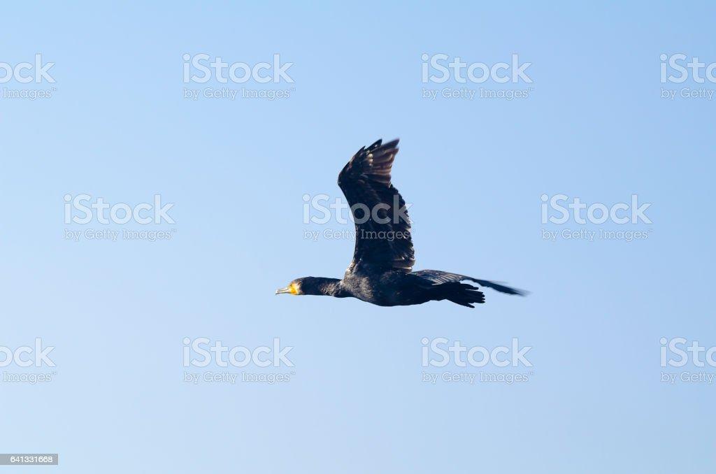Great cormorant bird stock photo