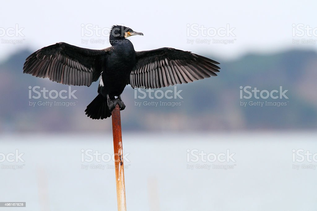 great cormorant dries its wings stock photo