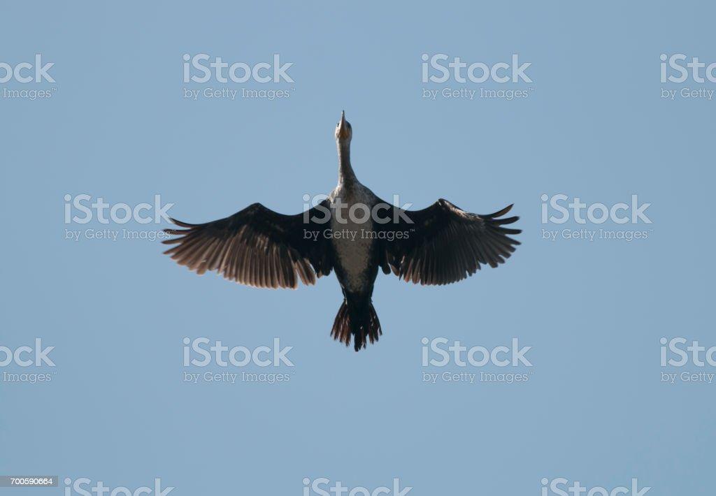 Great Cormorant flying over head stock photo