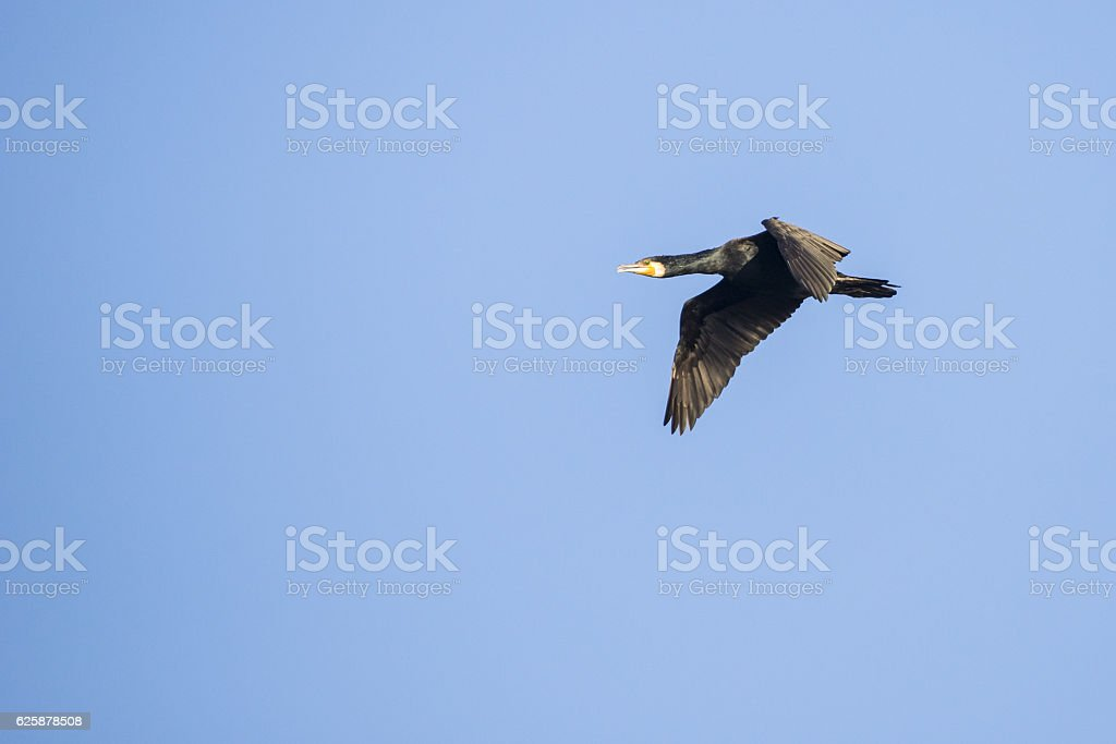 Great cormorant in the blue sky stock photo
