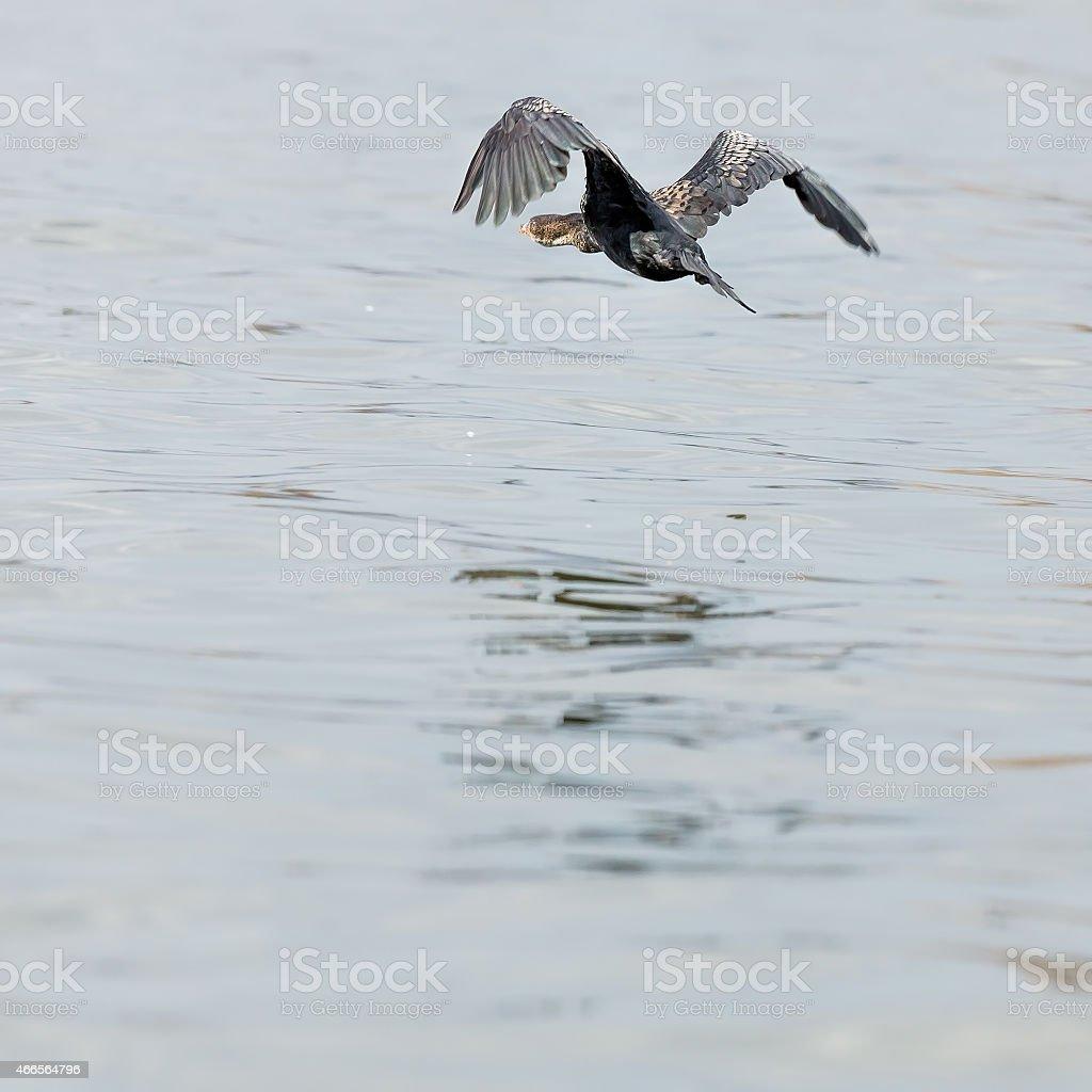 Great Cormorant is Flying stock photo