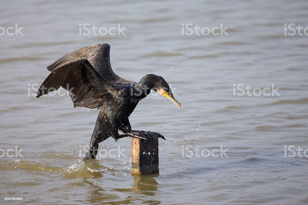 Great Cormorant (Phalacrocorax carbo) landing stock photo