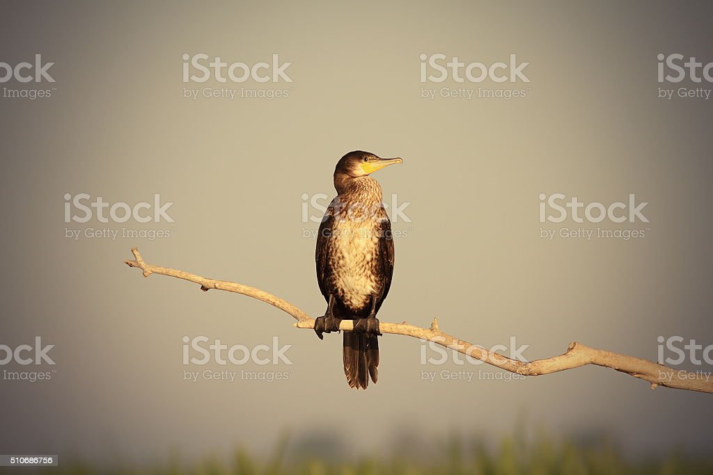 great cormorant on branch stock photo