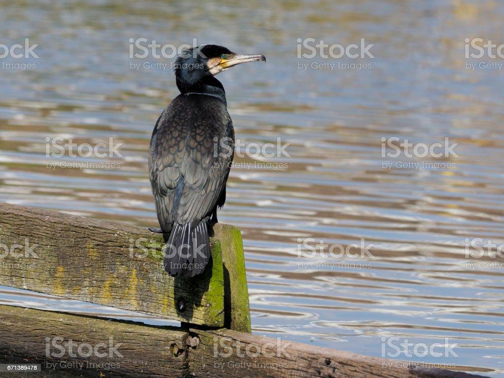 Great cormorant, Phalacrocorax carbo stock photo