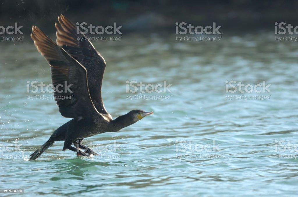 Great Cormorant (Phalacrocorax carbo) stock photo