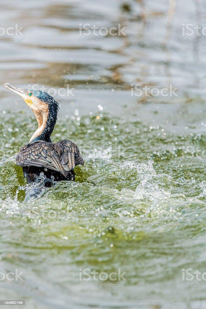 Great cormorant swimming stock photo