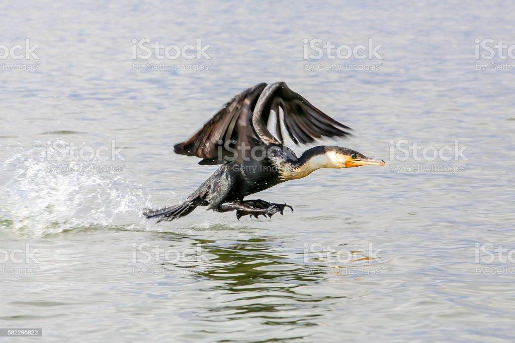 Great Cormorant taking off stock photo