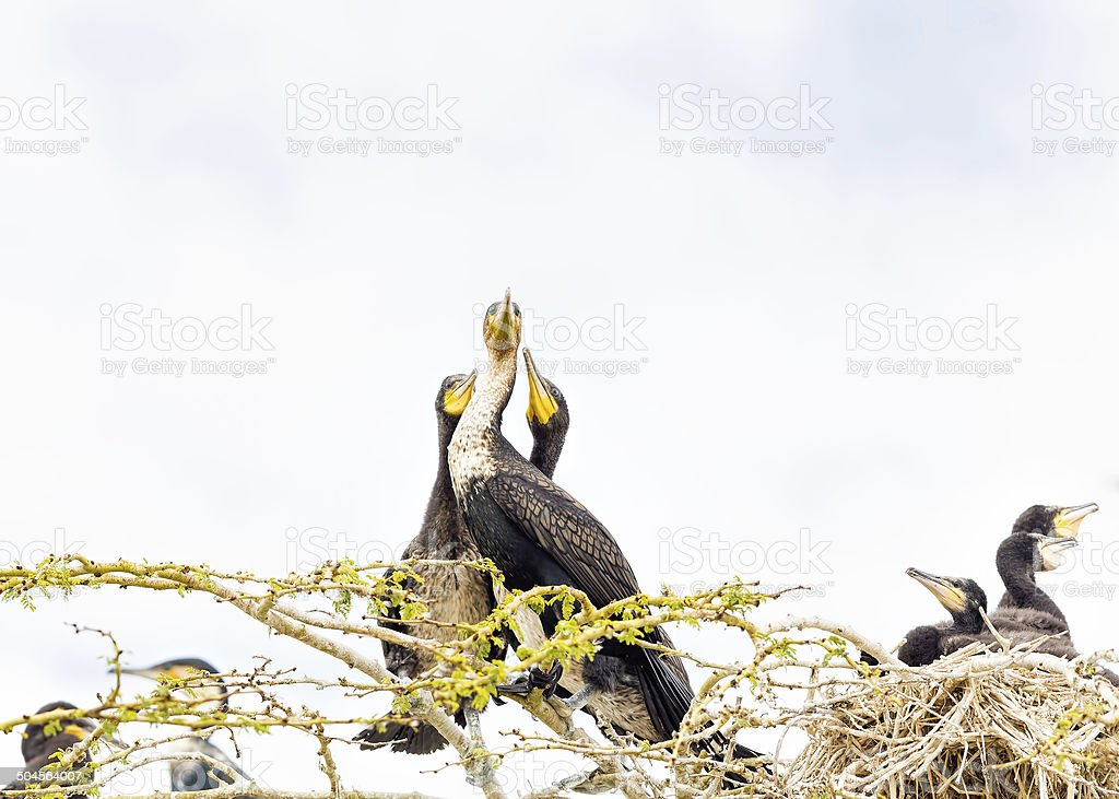 Great Cormorant with babies in nest stock photo