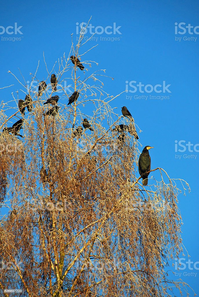Great cormorant with Jackdaw on top of a Birch. stock photo