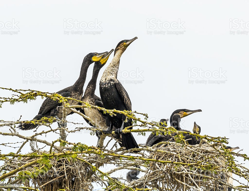 Great Cormorants - babies want to eat something form mother royalty-free stock photo
