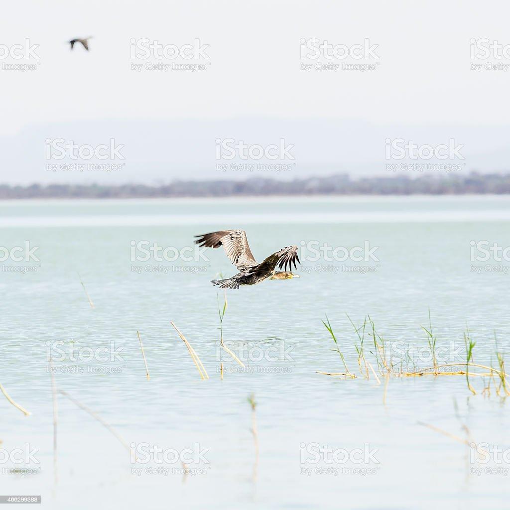 Great Cormorants flying stock photo