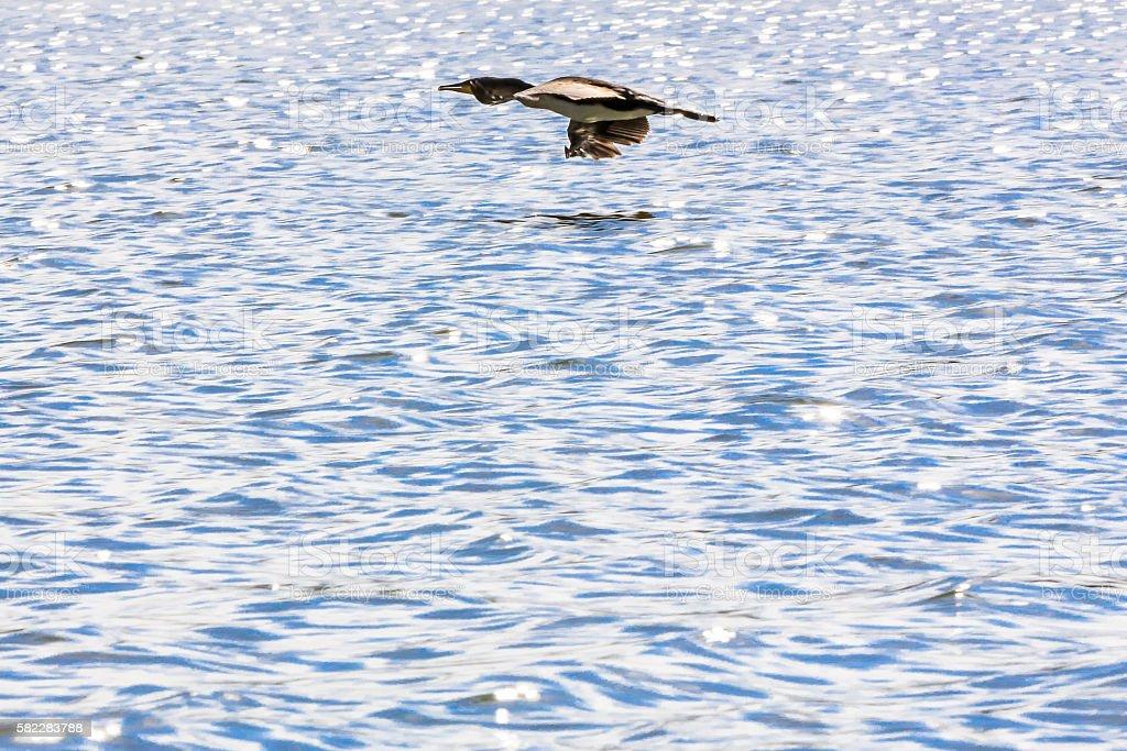Great Cormorants - Flying stock photo