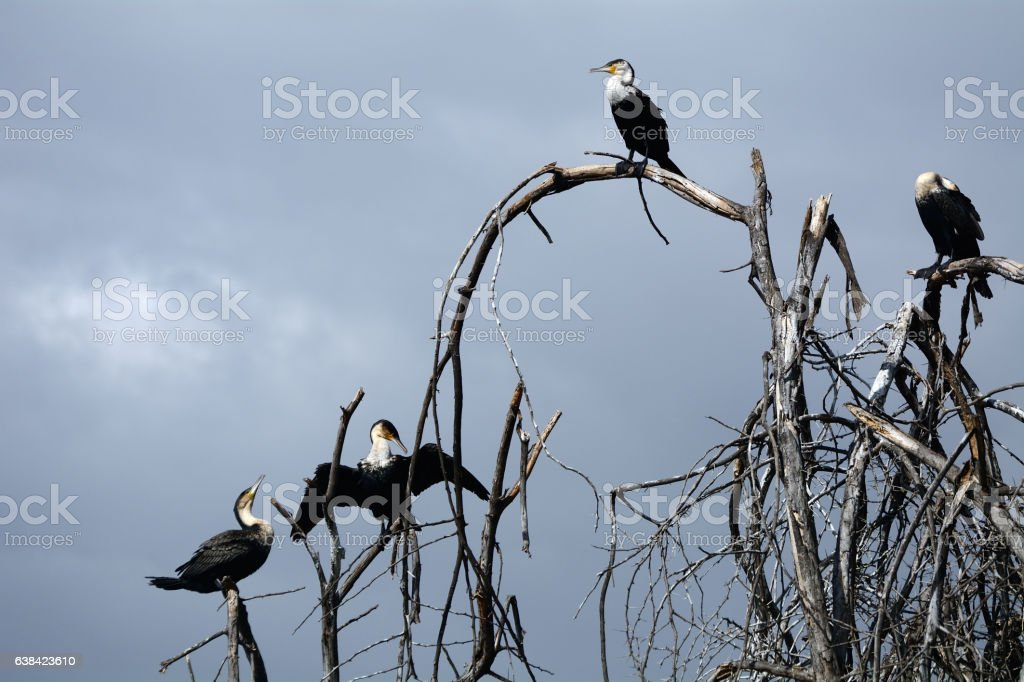 Great cormorants, Lake Naivasha, Kenya stock photo