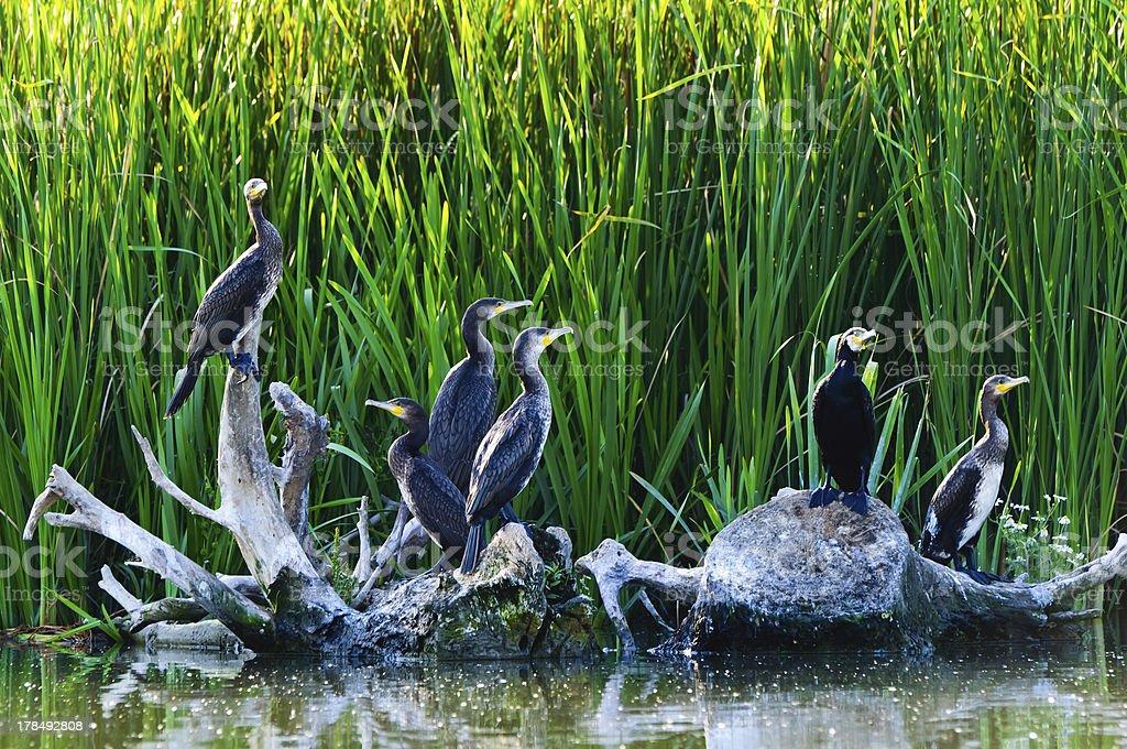 great cormorants stock photo