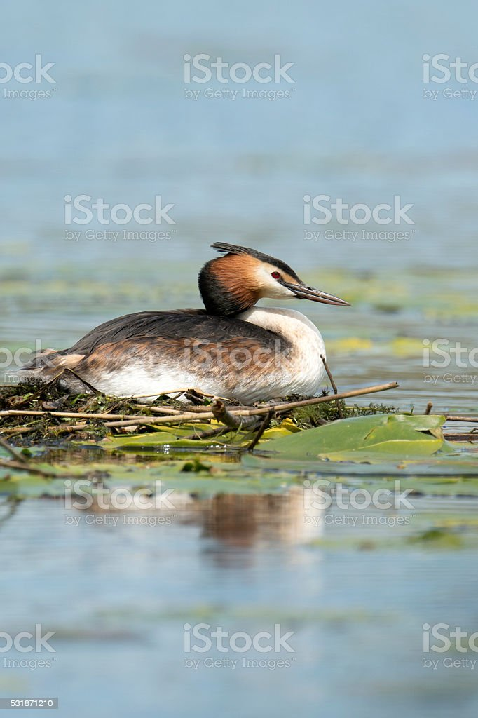 Great Creasted Grebe sat on her nest.  Podiceps cristatus. stock photo