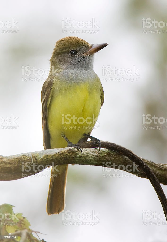 Great Crested Flycatcher in the fog stock photo