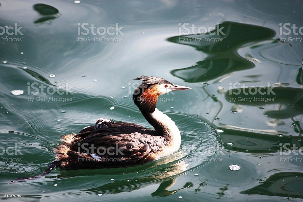 Great crested grebe and chick in blue water stock photo