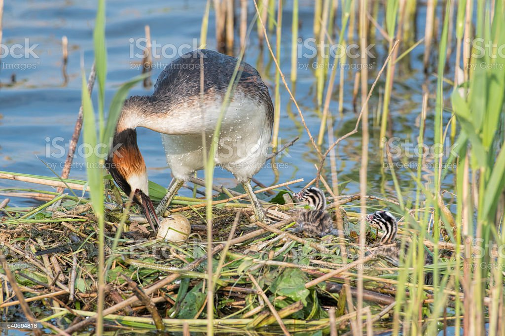 Great Crested Grebe at nest with two baby chicken stock photo