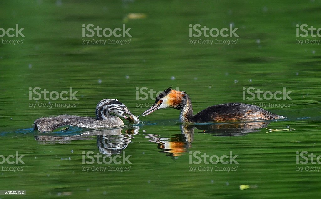 great crested grebe brings fish to the young stock photo