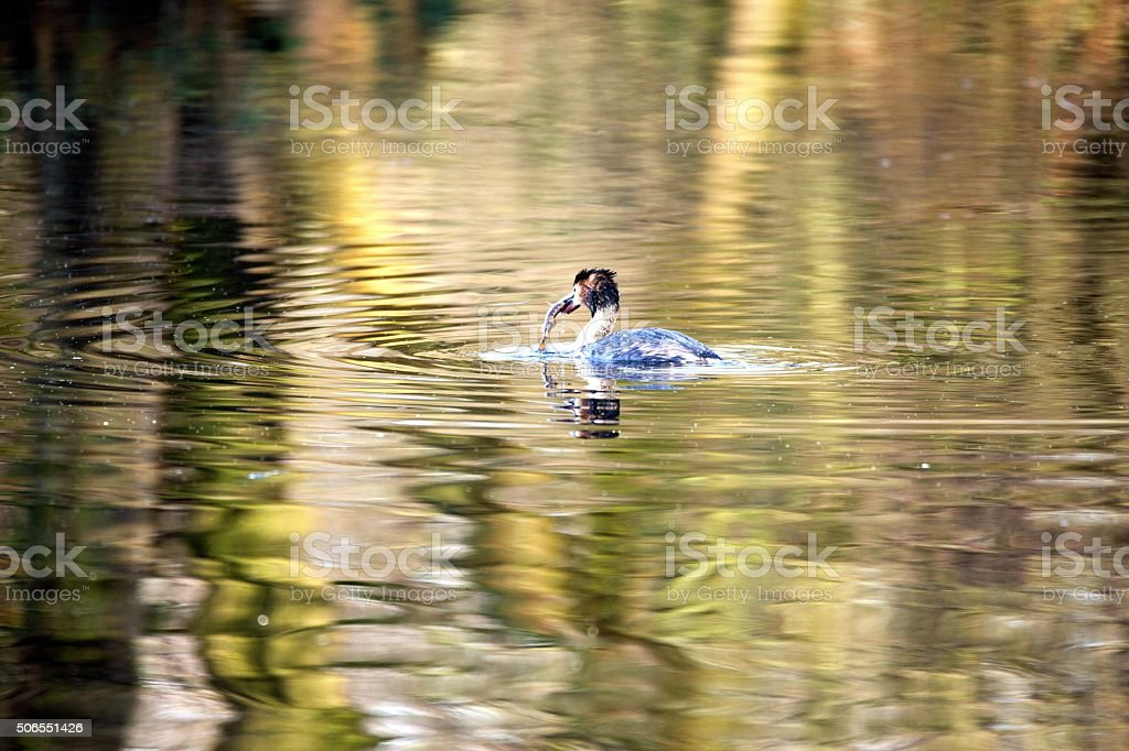 Great Crested Grebe caught a fish stock photo