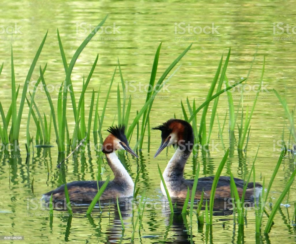 Great Crested Grebe dance stock photo