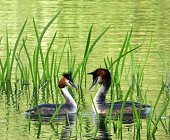 Great Crested Grebe dance