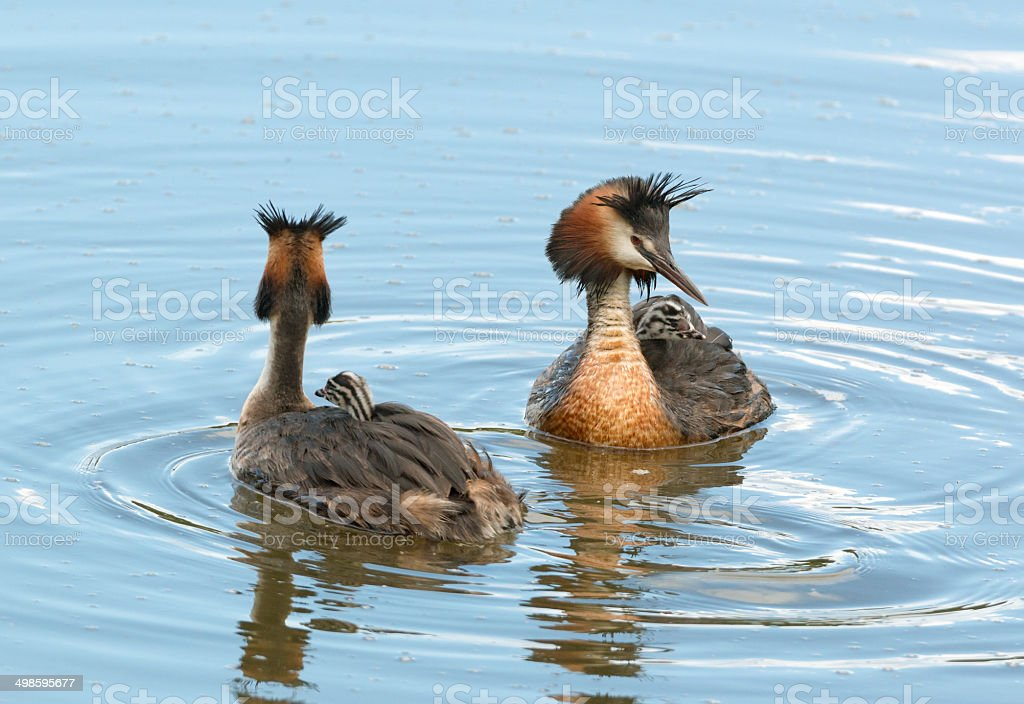 Great crested grebe family (Podiceps cristatus) royalty-free stock photo