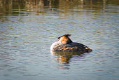 Great Crested Grebe floating on the lake