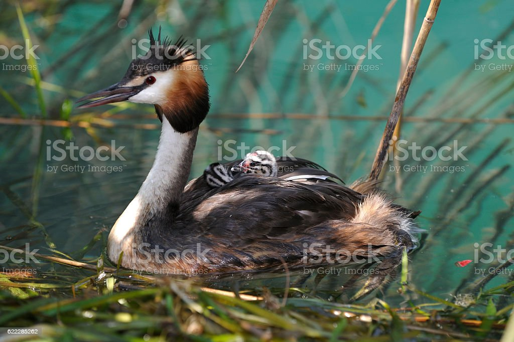 Great Crested Grebe in nest with chicks stock photo