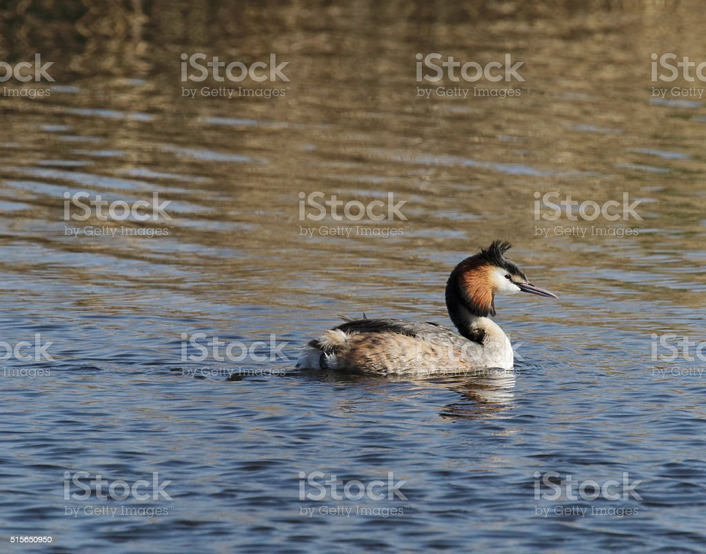Great Crested Grebe (Podiceps cristatus) in Summer Plumage stock photo