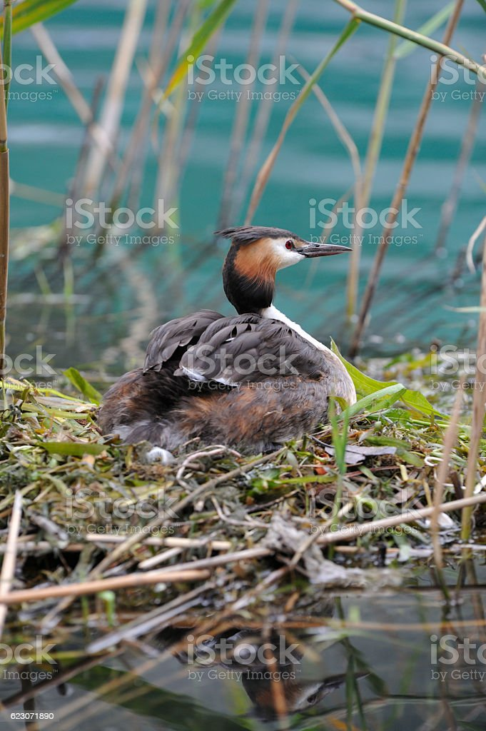 Great crested grebe in the nest stock photo