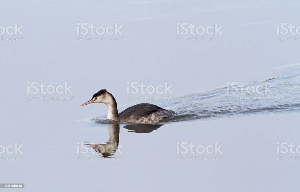 Great Crested Grebe (Podiceps cristatus) in Winter Plumage stock photo