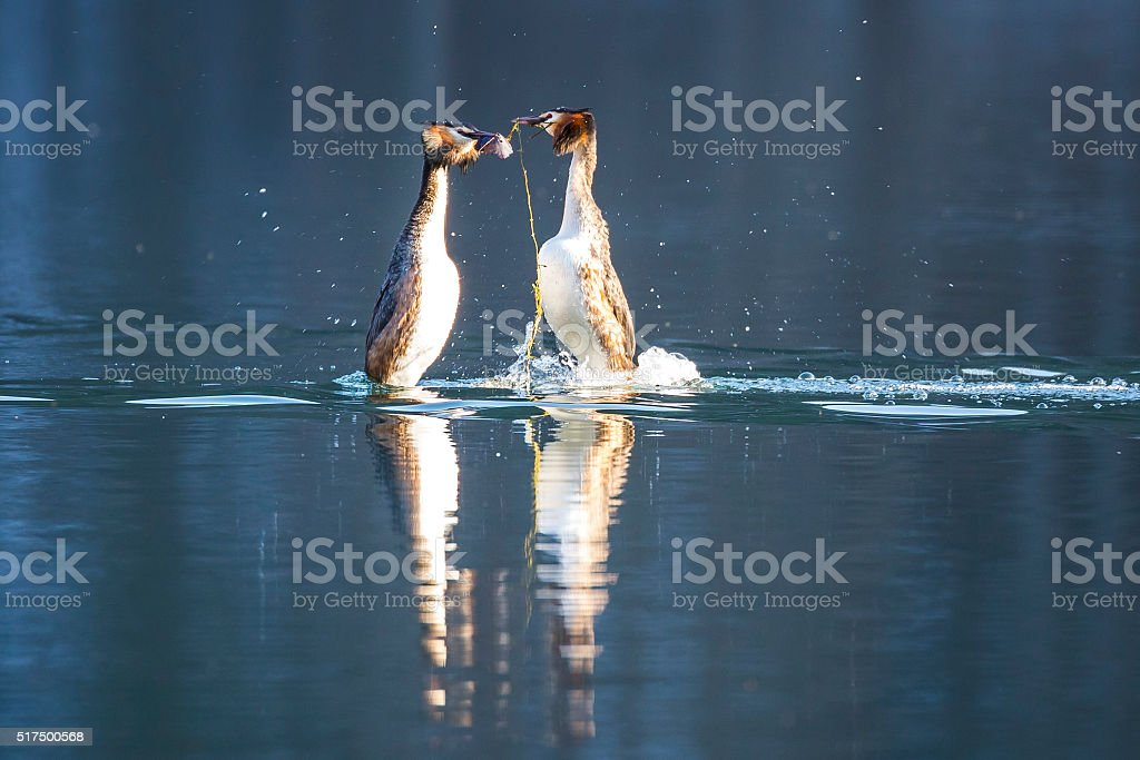 Great crested grebe on a lake stock photo
