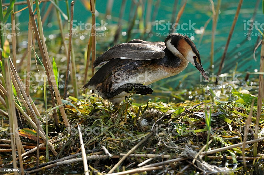 Great Crested Grebe on the nest stock photo