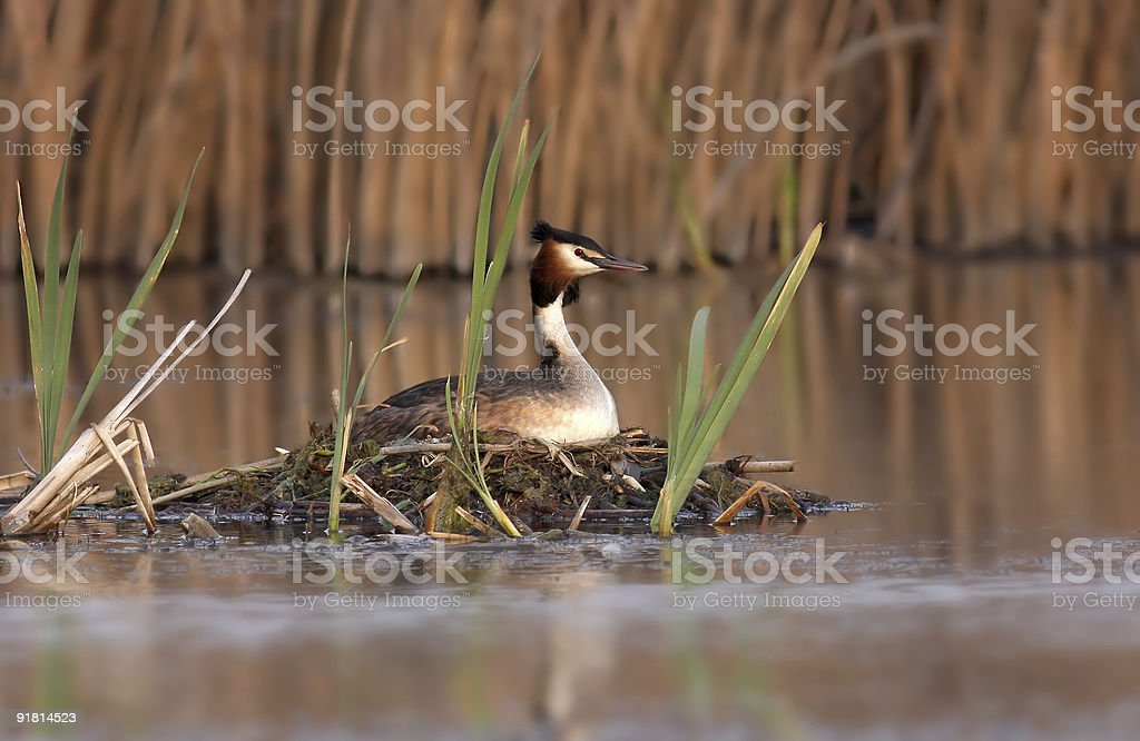 Great Crested Grebe (Podiceps major) royalty-free stock photo
